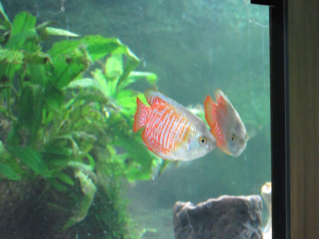 Gestreifter Fadenfisch - Colisa fasciata